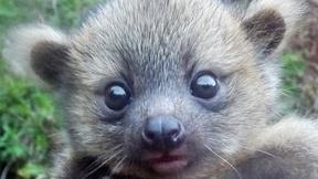 Image of 'Crowd-sourced' science sheds new light on olinguito