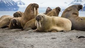 Image of 35,000 walruses on Alaska shore a sign of tremendous change