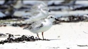 Image of Scientists hope to protect the piping plover's winter home