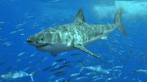 Image of Armor-like shark skin may offer defense from superbugs