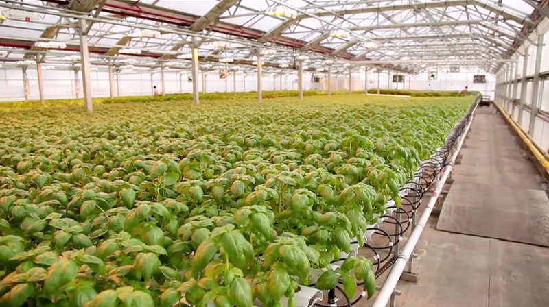 Growing Lettuce in New York City is a Growing Business