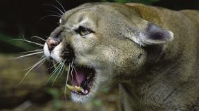 Image of Wild Predator Invasion