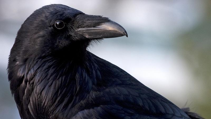 Inside Animal Minds: Bird Genius