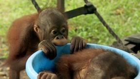 Image of Scene From Episode 2 | Orangutan Playtime