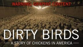 Image of Dirty Birds: A Story of Chickens in America