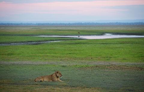 Lion on the Gorongosa savannah - photo by Katherine Jones