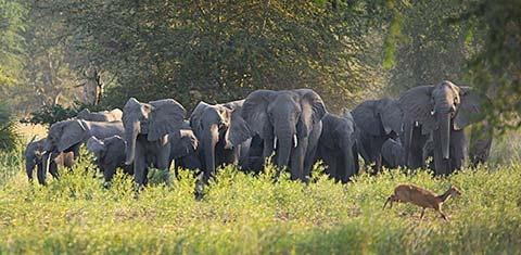 Gorongosa elephants - photo by Katherine Jones