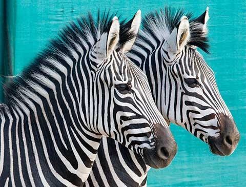 Zebras in Gorongosa - photo by Katherine Jones