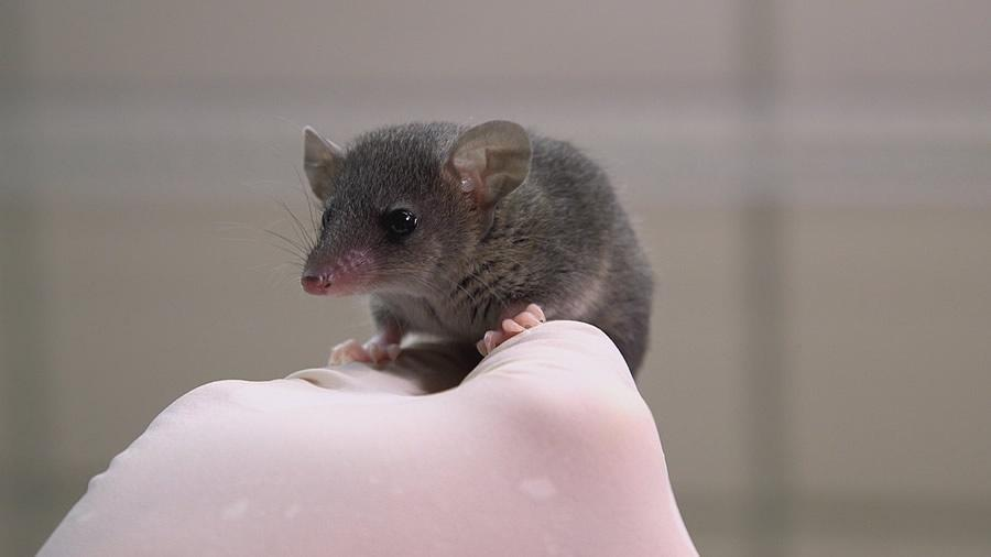 close-up of small opposum