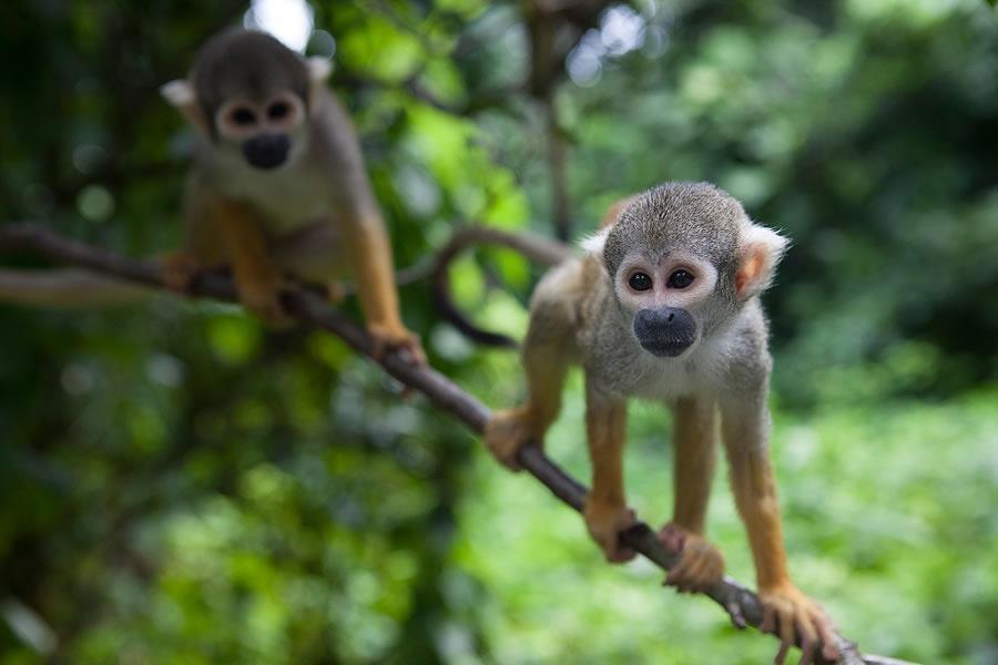 2 monkey's walking on a thin branch