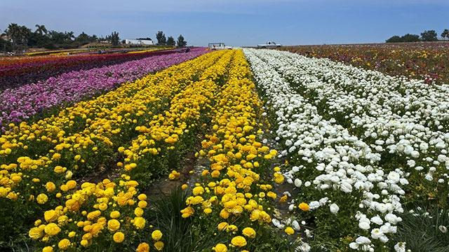 Flower Fields & Gemstones-Overnight trip to Carlsbad CA