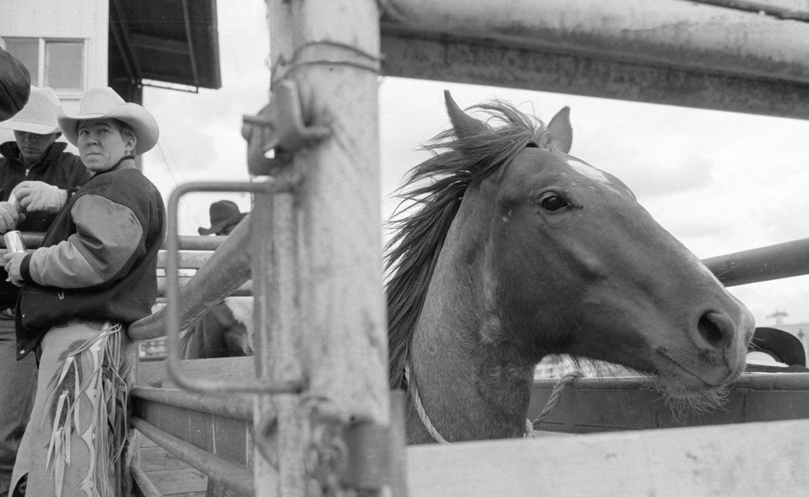 A bucking horse in the chutes at the sale