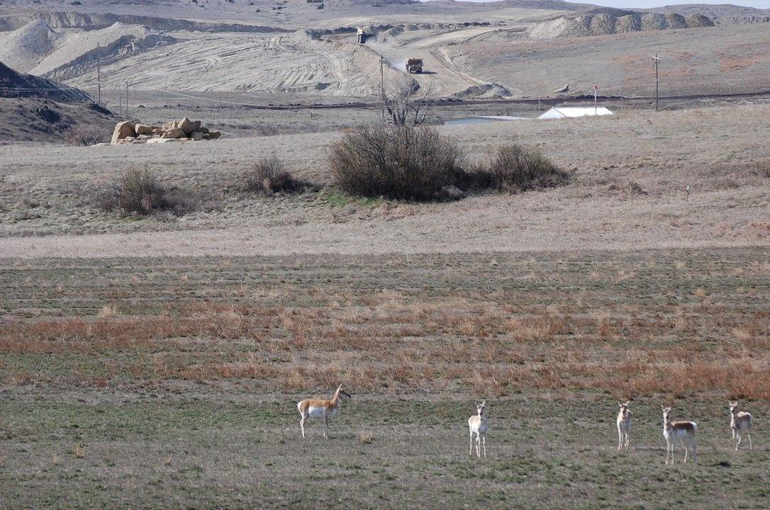 Antelope graze on reclamed land Colstrip Rosebud mine