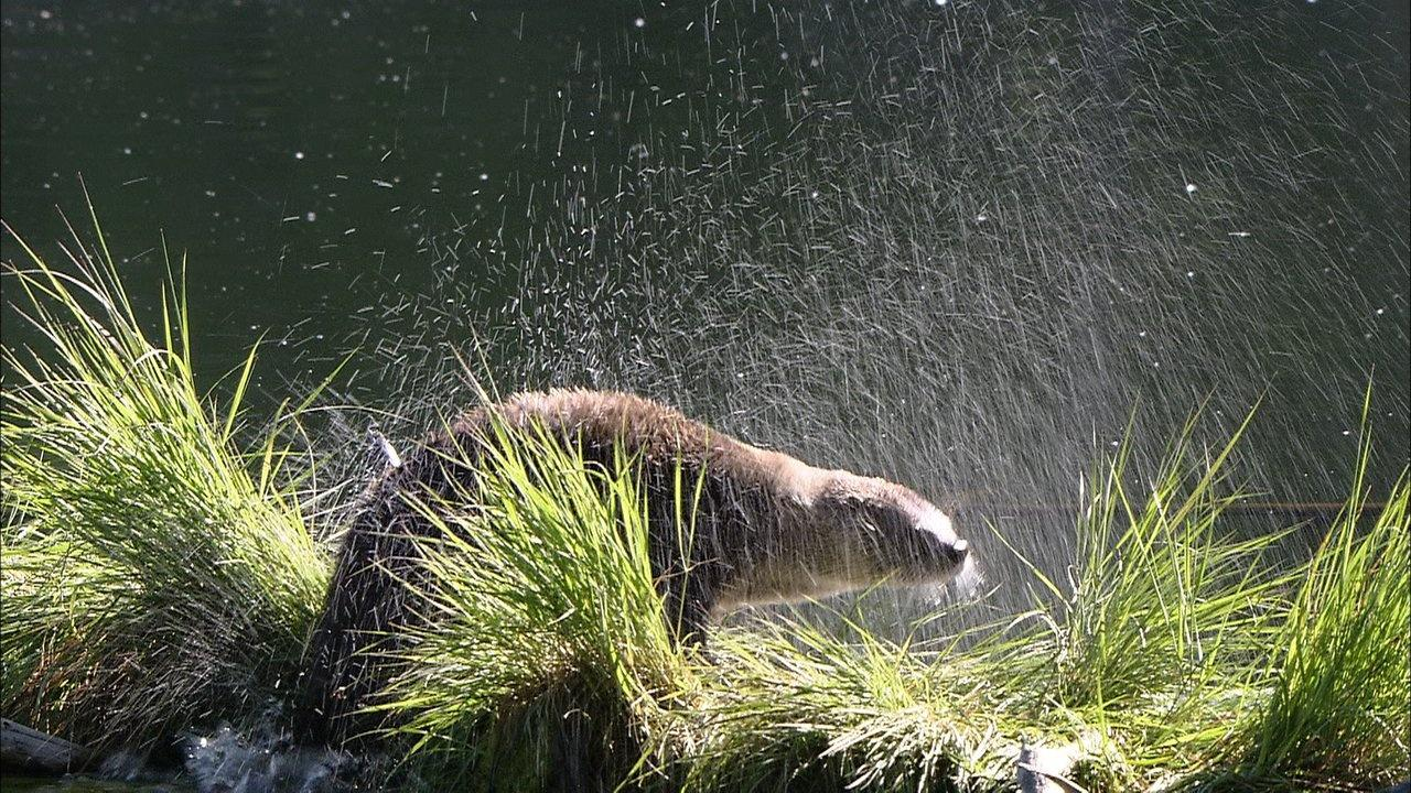 otter shaking after fishing