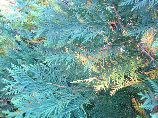 Evergreen tree.