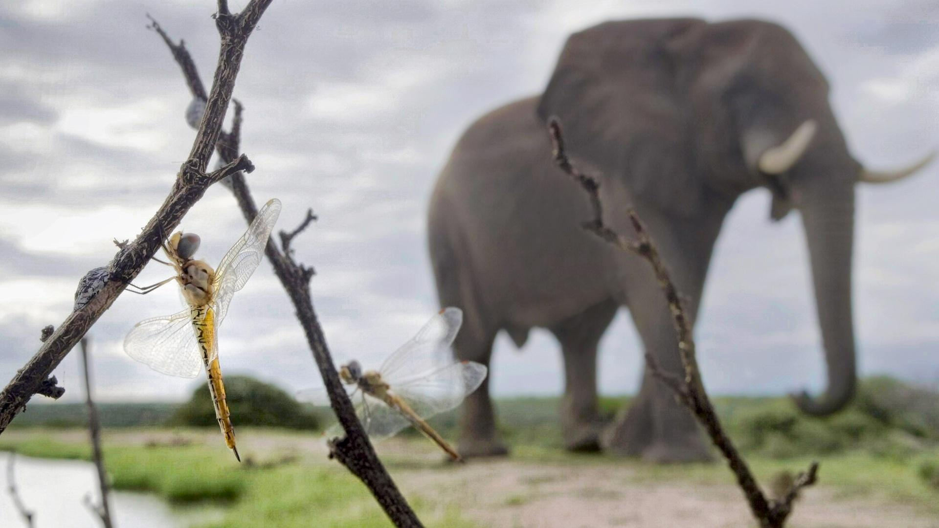 """A """"wandering glider"""" dragonfly, and in the background an African elephant. These dragonflies, however, begin their life far away in India."""
