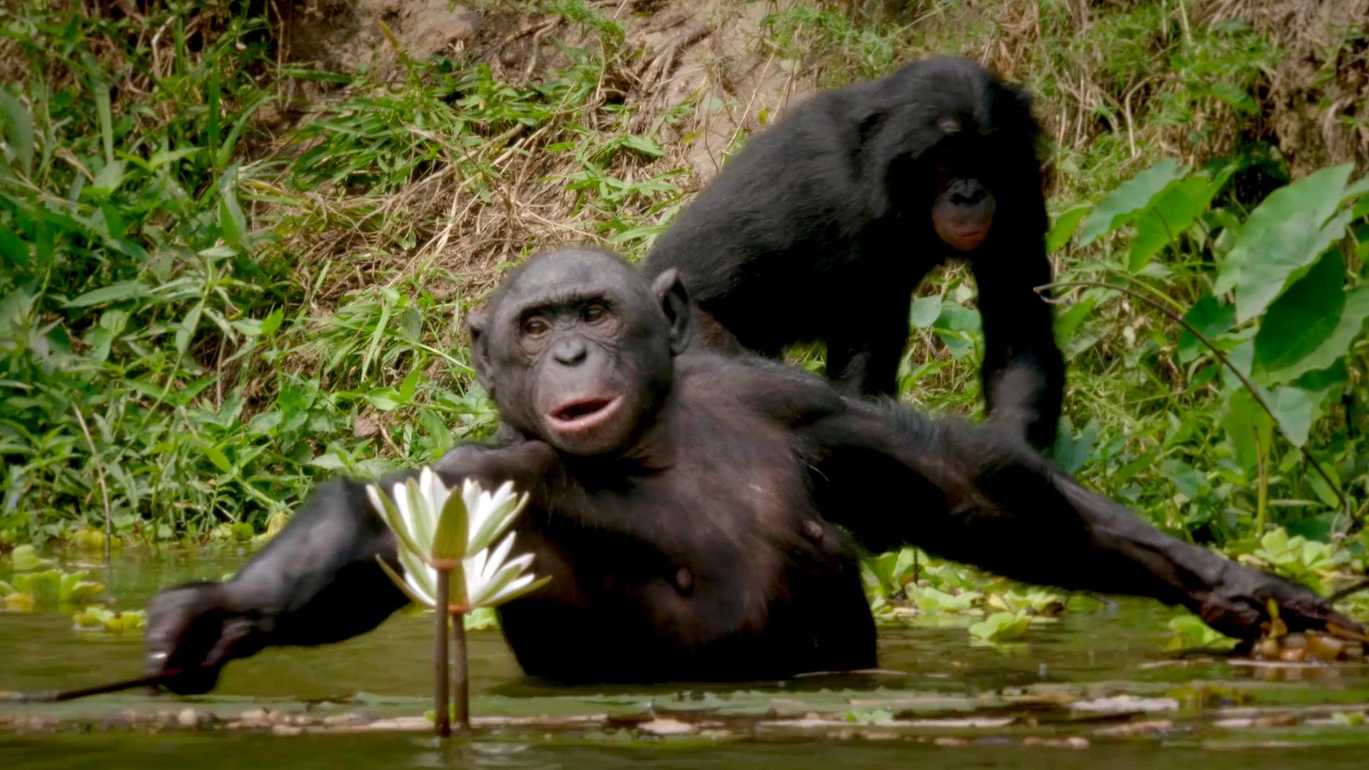 Bonobos, in the Congo, may help explain a critical moment in human evolution, when humans took their very first steps. The theory has everything to do with water.