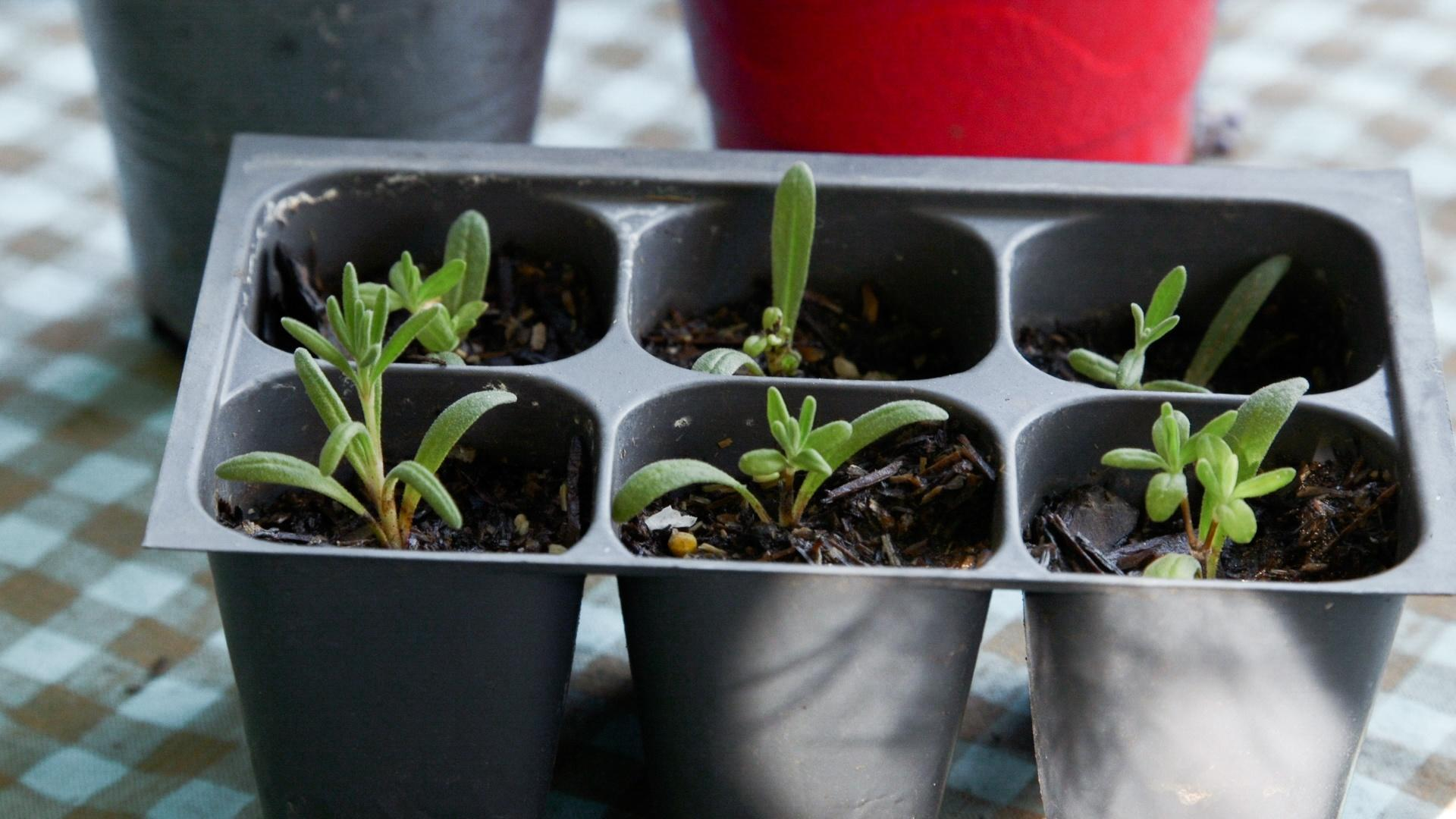 Eight week old lavender starts from propagation.