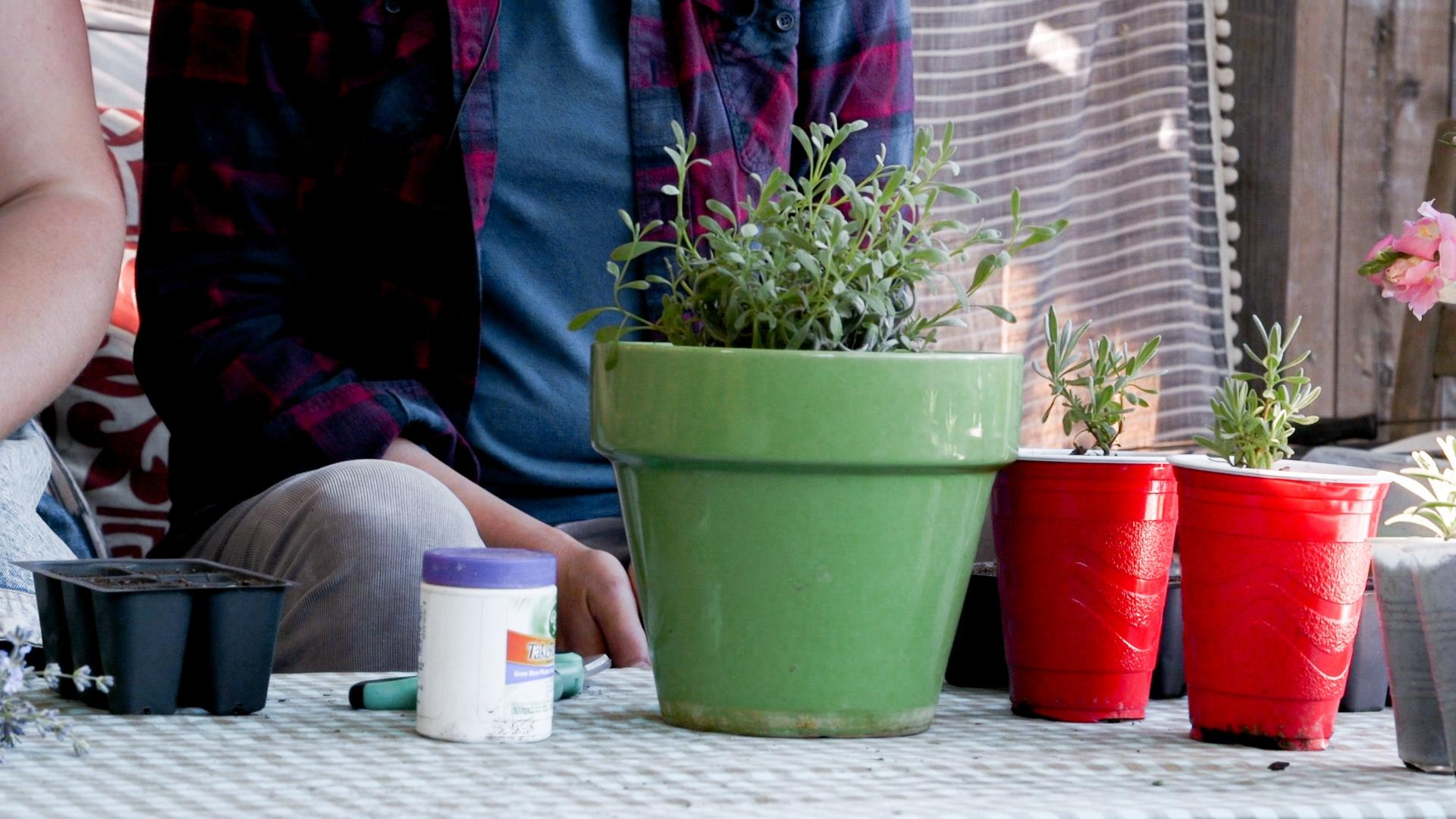 Growing containers, root hormone, scissors and the mother lavender plant.