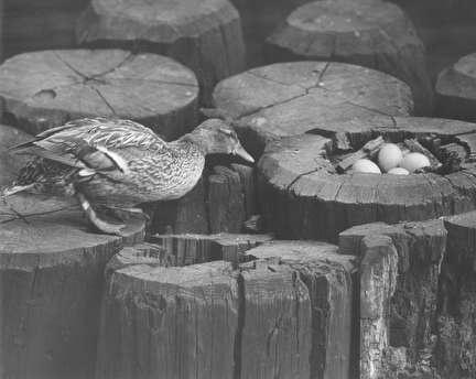 Photo of Gertie the Duck, a Distraction for Milwaukeeans During WW II