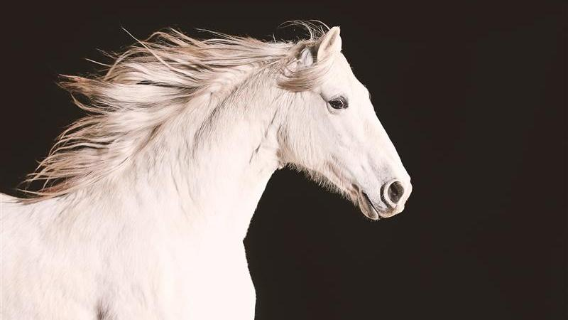 White Andalusian Horse from Episode 1 of Nature Equus