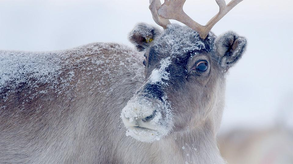 A caribou in the snow.