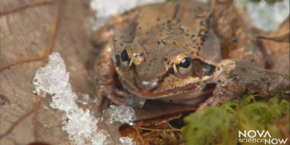 Frozen Frogs — Nova