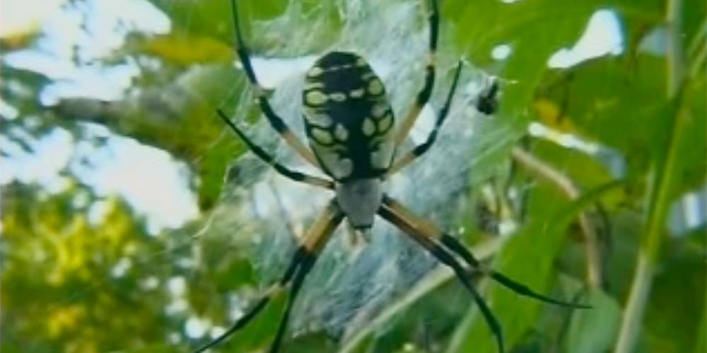 Reading Charts and Tables - Garden Spiders