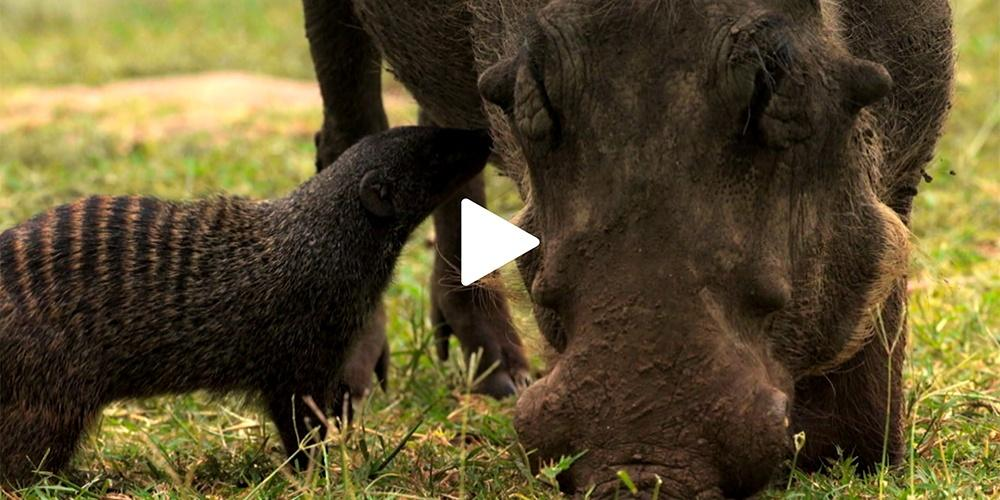 Unlikely Partners—Warthog and Mongoose
