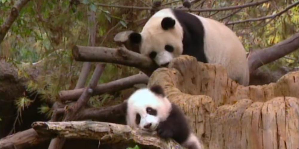 Woolong's Pandas