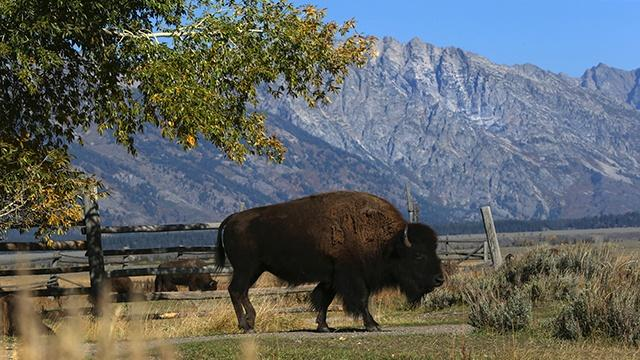 Buffalo grazing in a valley in Jackson Hole, Wyoming