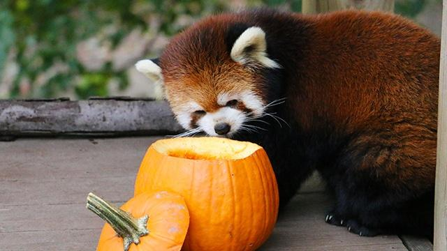 Red Panda sniffing a pumpkin
