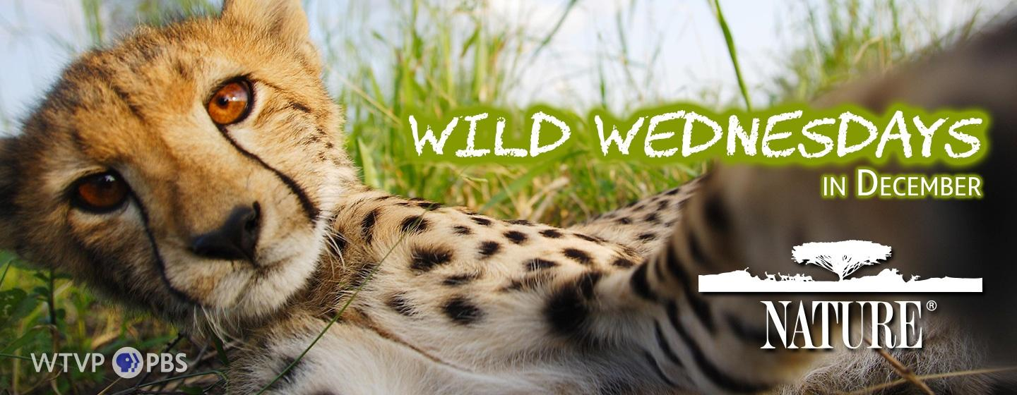Photo of a Cheetah - Wild Wednesdays in December - Nature