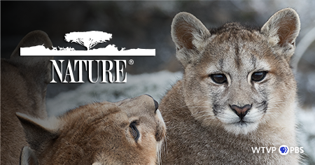 Pumas - Nature