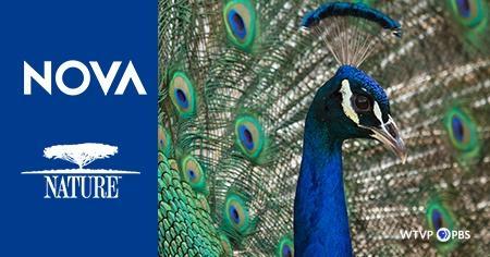 Nova and Nature. Photo of a peacock