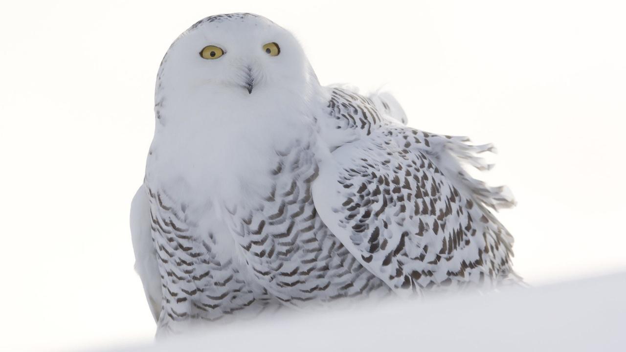 Wild!: Snowy Owls -- A Winter's Tale