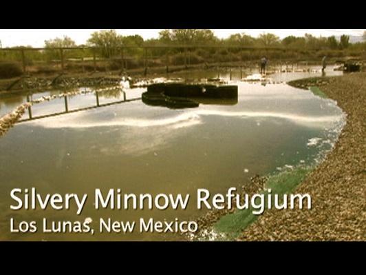 Silver Minnow Refugium