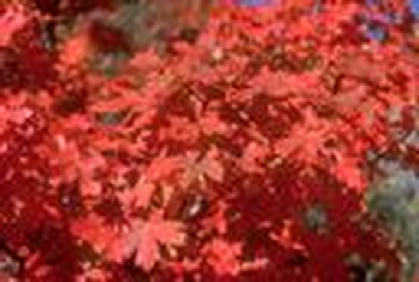 Utah Native Plants | Bigtooth Maple: Red Leaves