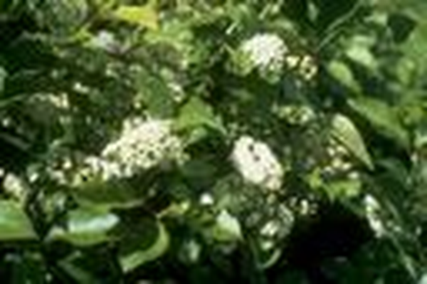 Utah Native Plants | Chokecherry with Flowers