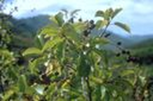 Utah Native Plants | Chokecherry