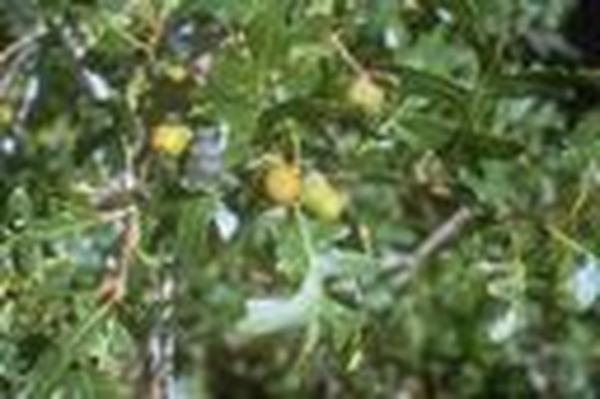 Utah Native Plants | Gambel Oak