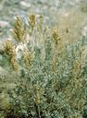 Utah Native Plants | Sagebrush