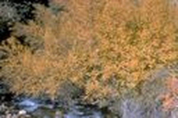 Utah Native Plants | Western River Birch in Autumn
