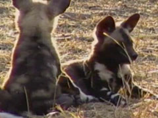 An African Wild Dog Den | Kratts Creatures