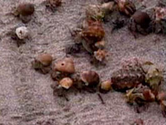 Crazy About Hermit Crabs   Kratts Creatures