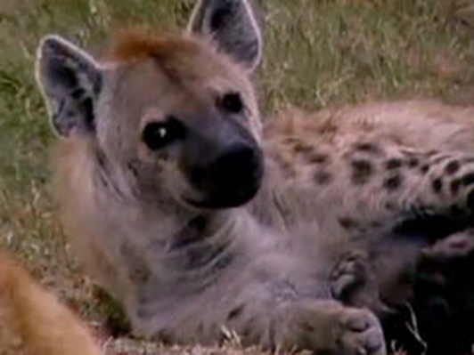 Hyena Moms Feed Their Young | Kratts Creatures