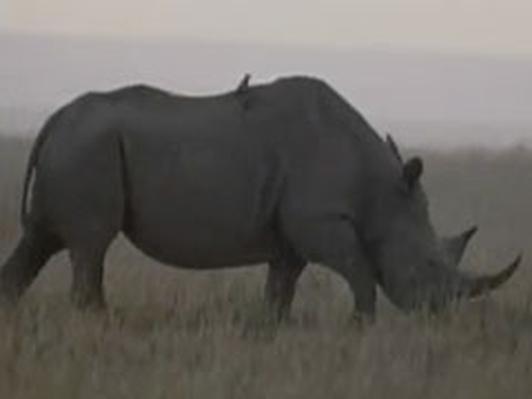 Meet the Rhino! | Kratts Creatures