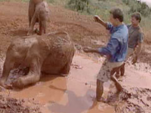 Mud Bath with a Baby Elephant | Kratts Creatures