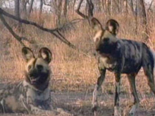 The Wild Dog Confrontation