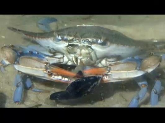 Blue Crab Blues